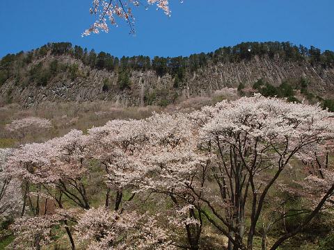 屏風岩の山桜