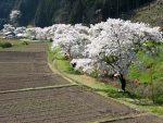岩端の桜並木