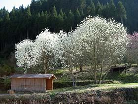 角川の木蓮