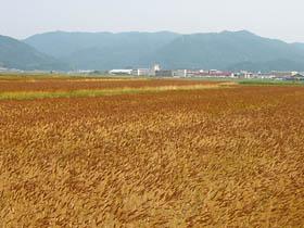 平田付近の麦畑