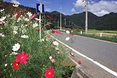 コスモス咲く地子原付近の道