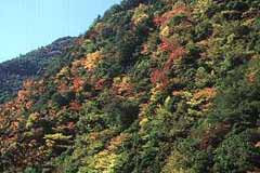 池津川付近の紅葉