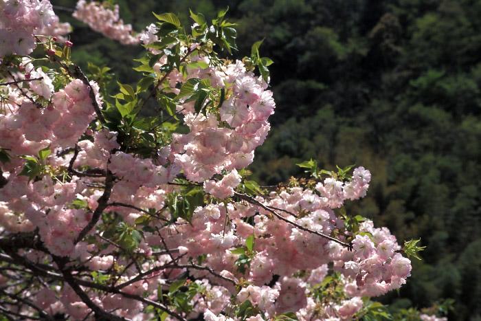 大古味の八重桜