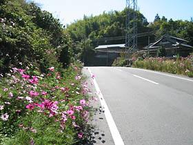 コスモス咲く市峠
