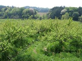 野原あたりは柿畑がいっぱい