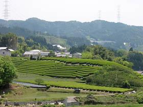 茶畑が広がる和束町